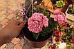 Розебудная пеларгония Noel Gordon, фото 2