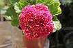Розебудная пеларгония Pink Rambler, фото 5