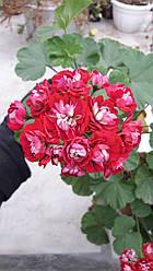 Розебудная пеларгония Red Rambler