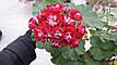 Розебудная пеларгония Red Rambler, фото 2