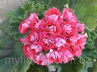 Розебудная пеларгония Rosebud Supreme
