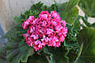 Розебудная пеларгония Rosebud Supreme, фото 6