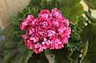 Розебудная пеларгония Rosebud Supreme, фото 8