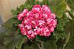 Розебудная пеларгония Rosebud Supreme, фото 9