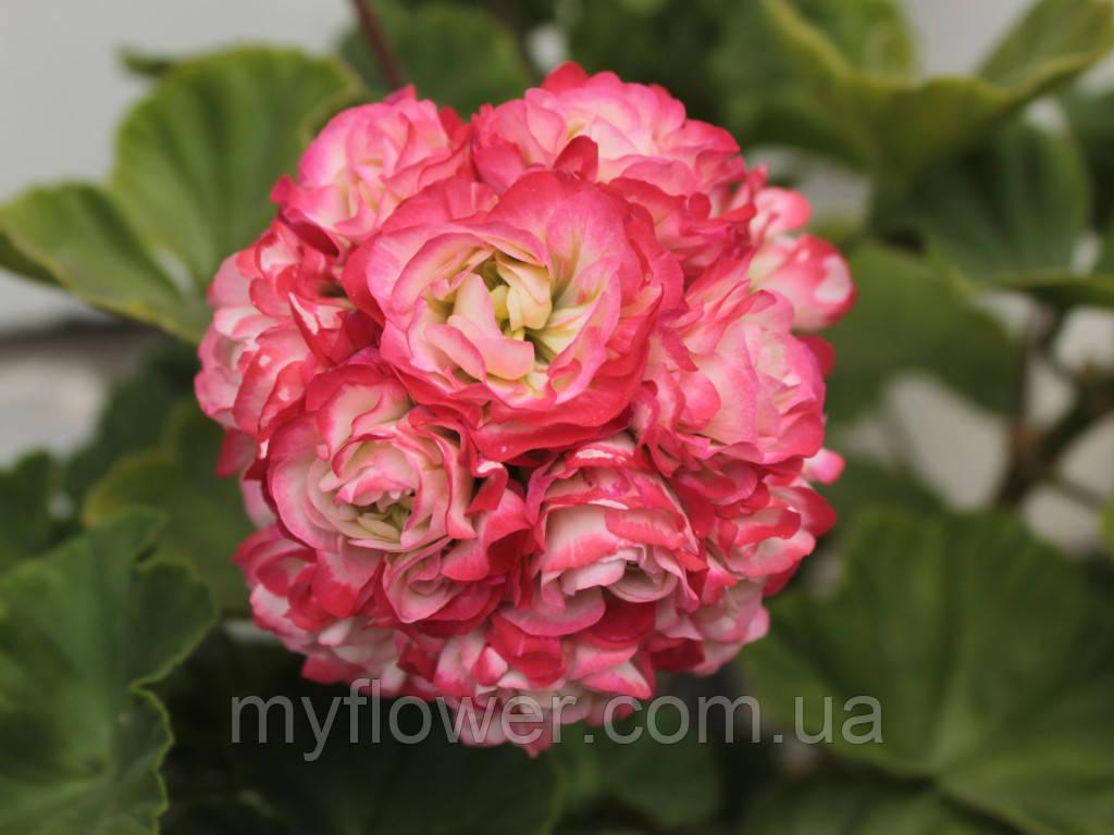 Розебудная пеларгония Sutarves Klara San