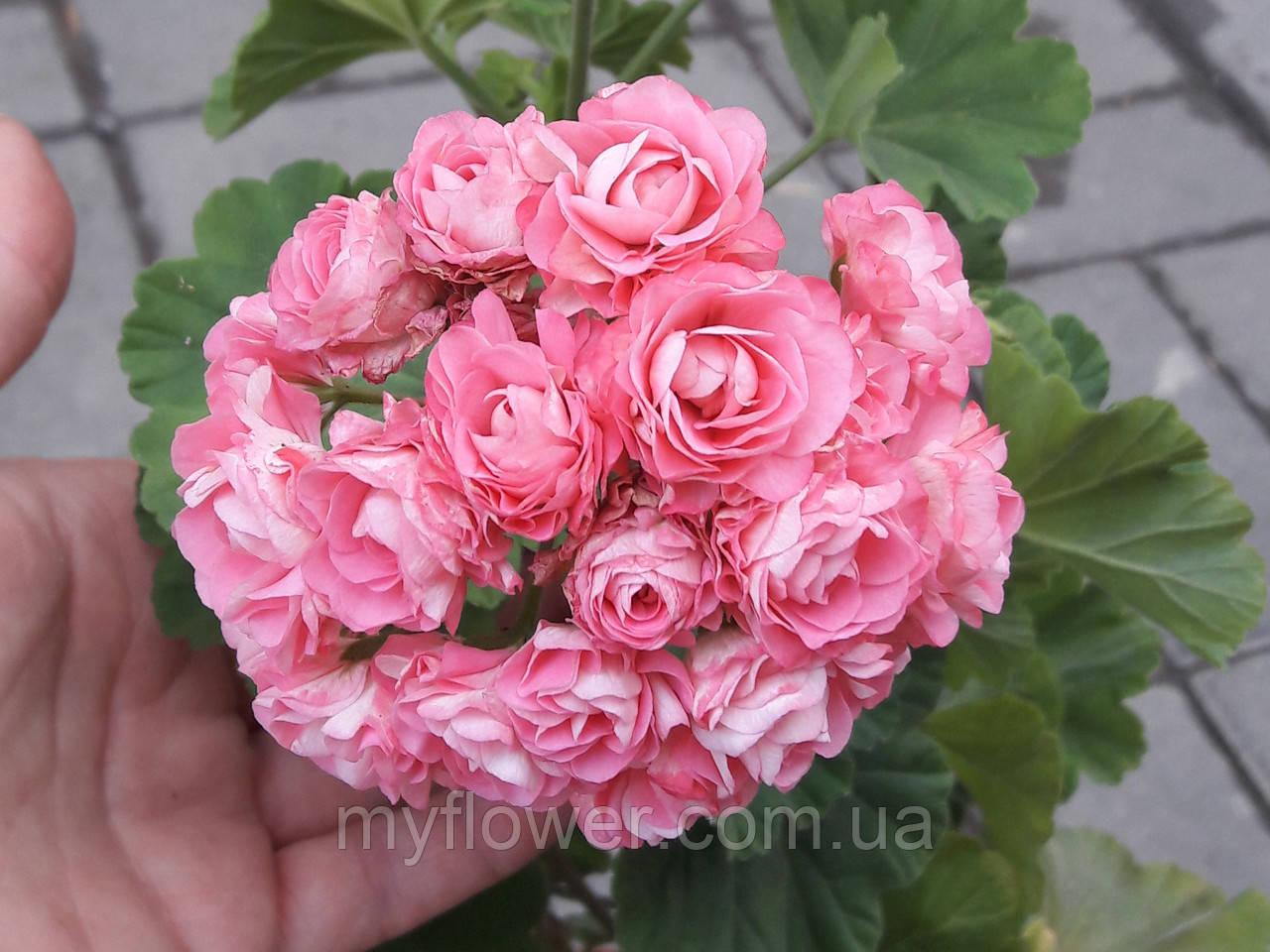 Розебудная пеларгония Swanland Pink - Australien Pink Rosebud