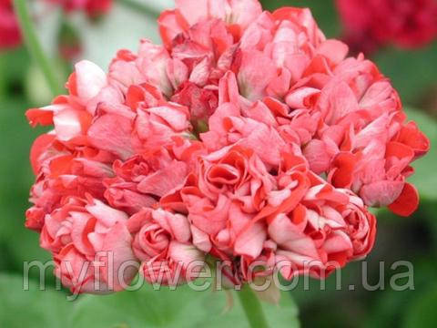 Розебудная пеларгония Brightstone