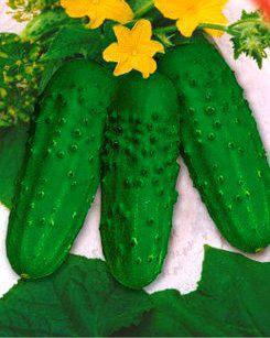 Семена огурцов пчелоопыляемых Зубренок F1(ИМП), фото 2