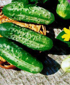 Семена огурцов пчелоопыляемых Крак F1(ИМП), фото 2
