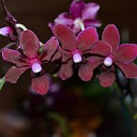Уценка дефекты Подростки орхидеи. Сорт Black pearl (т.н. Черная птичка), мультифлора, фото 1