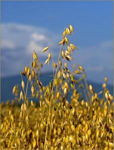 Семена Овса