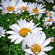 Ромашка садовая крупноцветная белая многолетняя 0,5 г