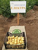 Картофель семенной Электра, среднеранний 2 репродукция, 25 кг