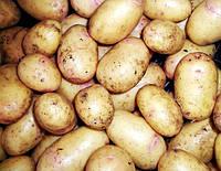 Картофель семенной Нектар, среднеспелый 2 репродукция