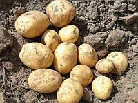 Картофель семенной Бюррен, ранний 1 репродукция