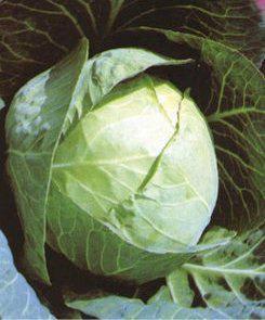 Семена капусты Ярославна, фото 2