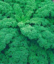 Семена капусты листовой Грюнкольн зеленая (имп)