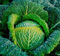 Семена капусты савойской (имп)