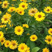 Ромашка садовая крупноцветная большая желтая 0,3 г