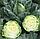 ПУШМА F1 -  семена капусты белокочанной, RIJK ZWAAN, фото 3