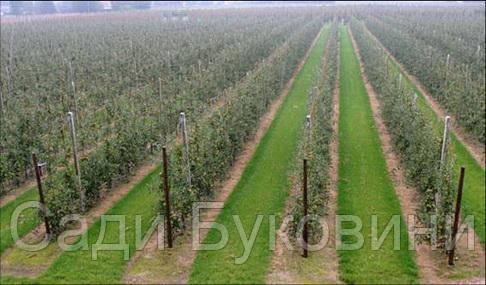 Саженцы яблони на подвое м9