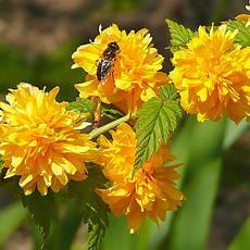 Керія японська Pleniflora 2 річна, Керрия японская / махровая Пленифлора, Kerria japonica Pleniflora, фото 2