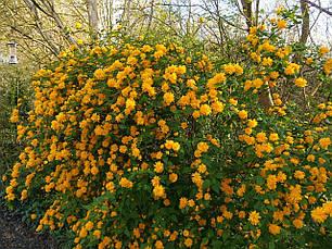 Керія японська Pleniflora 2 річна, Керрия японская / махровая Пленифлора, Kerria japonica Pleniflora, фото 3