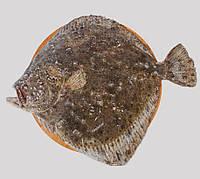 Камбала калкан черноморская вес от 3+ кг