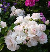 Саженцы роз сорта Aspirin (Аспирин)