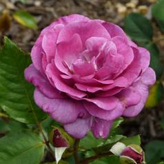 Саженцы роз сорт Violette Parfume (Виолет Парфюм)