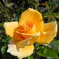 Саженцы роз сорт Golden Monica (Голден Моника)