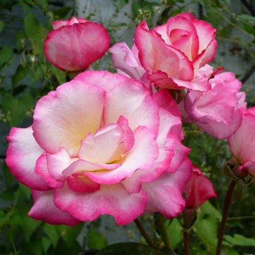 Саженцы розы сорта Haendel (Хендель)