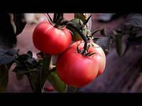 РОЗОВЫЙ томат индетерминантный ПИНК КРИСТАЛ F1, 250 сем