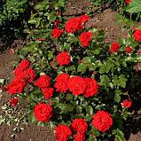 Саженцы розы сорта Nina Weibull (Нина Вейбул), фото 2