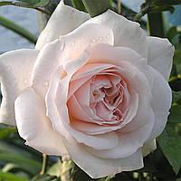 Саженцы розы сорта Penny Lane (Пенни Лейн)