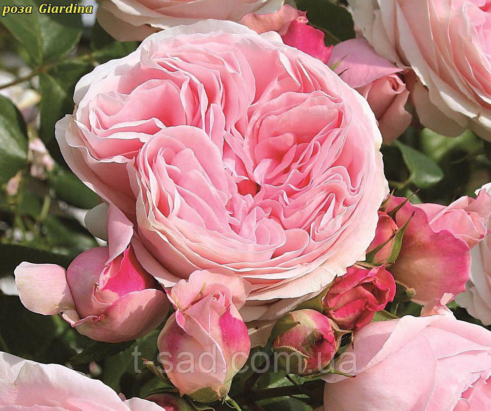 Роза Giardina (Джардина)