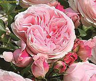 Роза Giardina (Джардина), фото 1