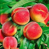 Персик Колоновидный  Юбилейный
