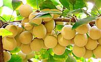 Семена Гинкго Билоба