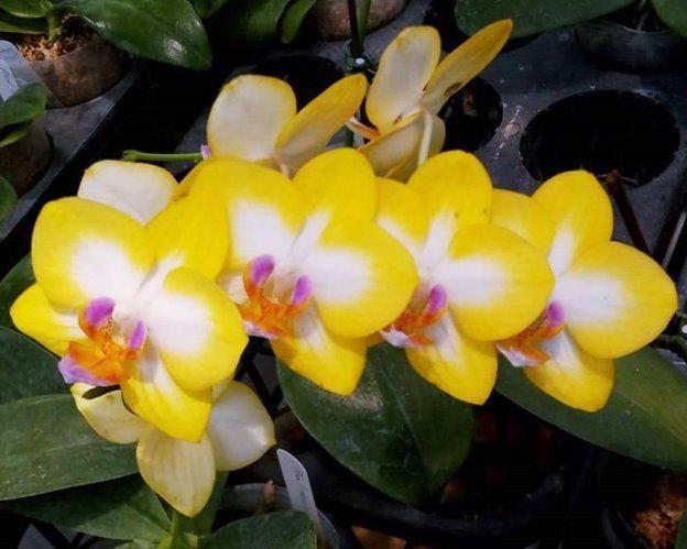 "Орхидея. Сорт Yen Shuai Sweet Girl 'Shiny Girl' размер 2.5"" без цветов"