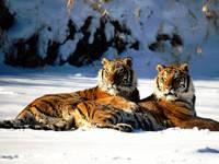 Набор алмазной вышивки Семья тигров