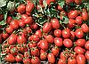 Семена томата Адванс F1 5000 семян Nunhems