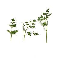 Семена петрушки листовой Фелиция F1 50г. Рийк цваан.