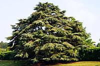 Редкие и реликтовые хвойные деревья и кустарники