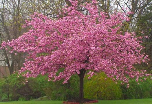 Сакура японська Kanzan 1.5-1.7м, Сакура мелкопильчатая Канзан, Prunus serrulata Kanzan, фото 2