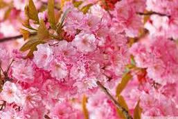 Сакура японська Kanzan 1.5-1.7м, Сакура мелкопильчатая Канзан, Prunus serrulata Kanzan, фото 3