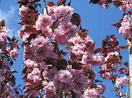 Сакура японська Royal Burgundy 1.5-1.7м, Сакура мелкопильчатая Роял Бургунди, Prunus serrulata Royal Burgundy, фото 3
