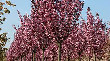 Сакура японська Royal Burgundy 1.5-1.7м, Сакура мелкопильчатая Роял Бургунди, Prunus serrulata Royal Burgundy