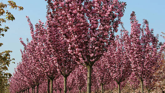 Сакура японська Royal Burgundy 1.5-1.7м, Сакура мелкопильчатая Роял Бургунди, Prunus serrulata Royal Burgundy, фото 2