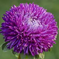 Семена астры Балун фиолетовая,1г SATIMEX